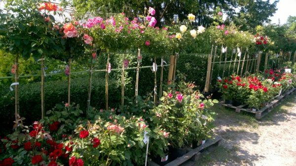 Róże rabatowe i pienne