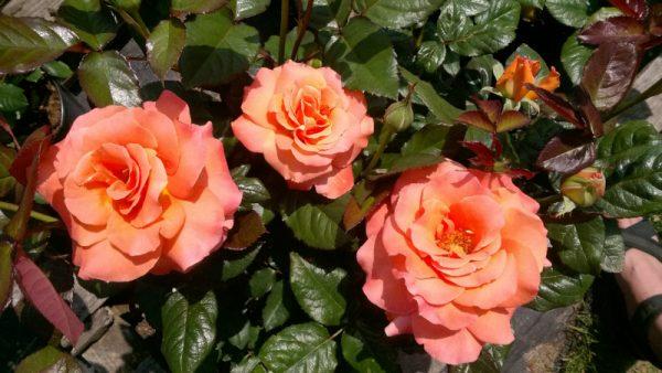 Róża wielkokwiatowa Greuadine