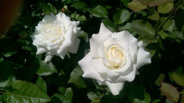 Róża wielkokwiatowa Pope John Paul II