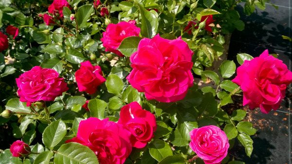 Róża rabatowa Avila Palace