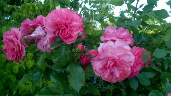 Róża pnąca Rosarium Uetersen