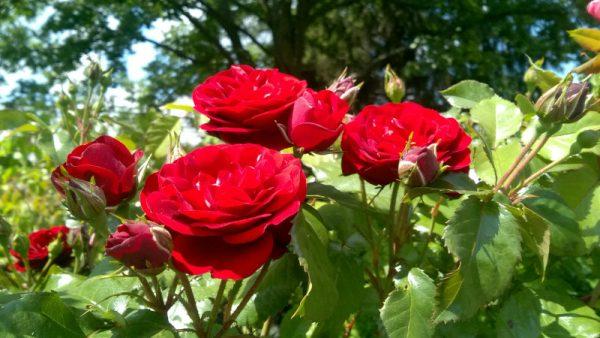 Róża Floribunda