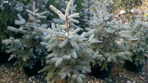 Picea pungens Erich