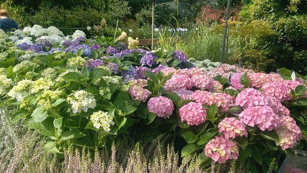hortensja ogrodowa