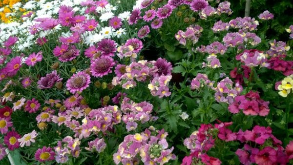 kwiaty jednoroczne do donic i gruntu