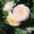 edelbusch_rose-600x587