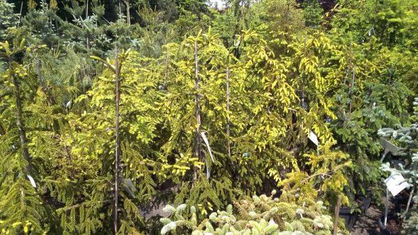 Drzewa i krzewy iglaste