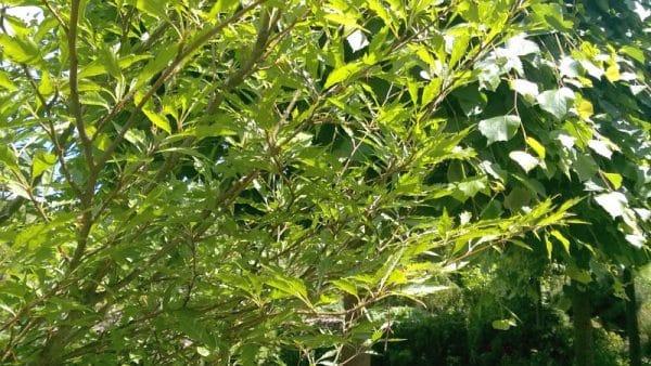 Fagus syw. Asplenifolia