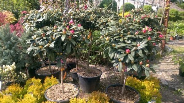 Rhododendron szczepiony n