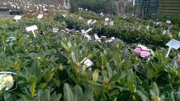 Rhododendrony i azalie