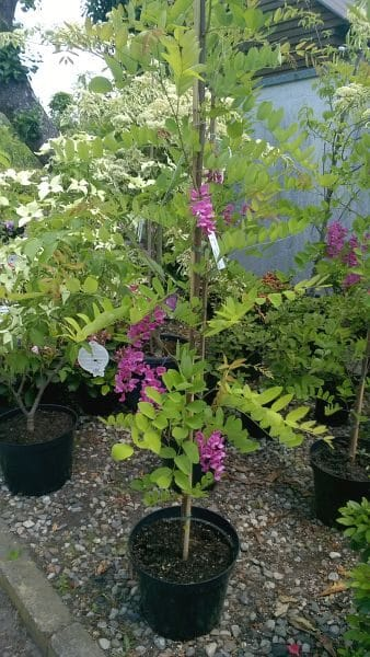 Robinia Cascue Rouge