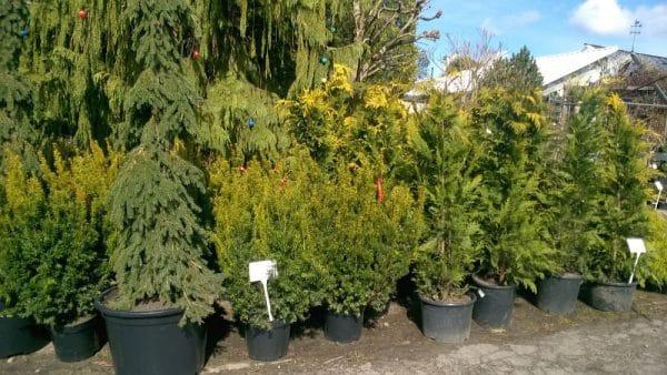 Róśliny iglaste