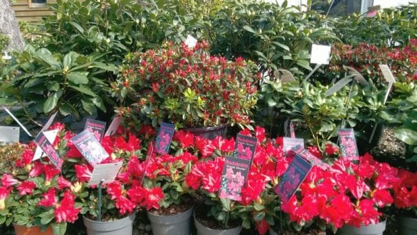 Azalie i różaneczniki